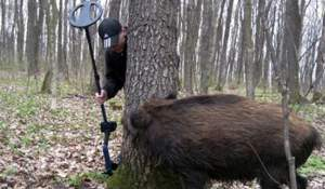 Boar, metal detector and gun